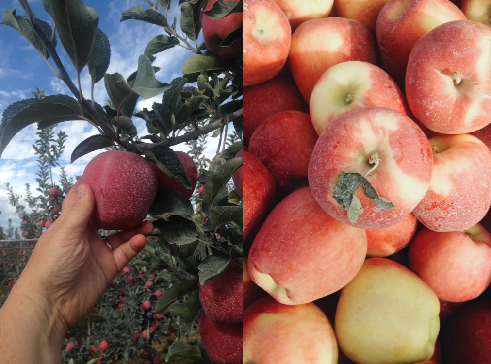 picking Ambrosia apples